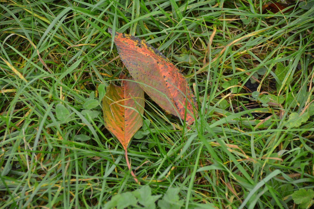 leaf, autumn, change, nature, grass, day, outdoors, dry, field, fallen, green color, high angle view, no people, one animal, beauty in nature, close-up, maple, fragility, animal themes