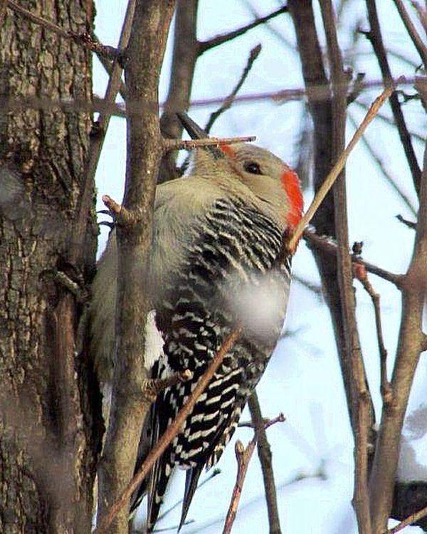 Woodpecker Bird Watching Wildlife & Nature Bird Photography Birds Profile Winter Birds And Branches My Backyard