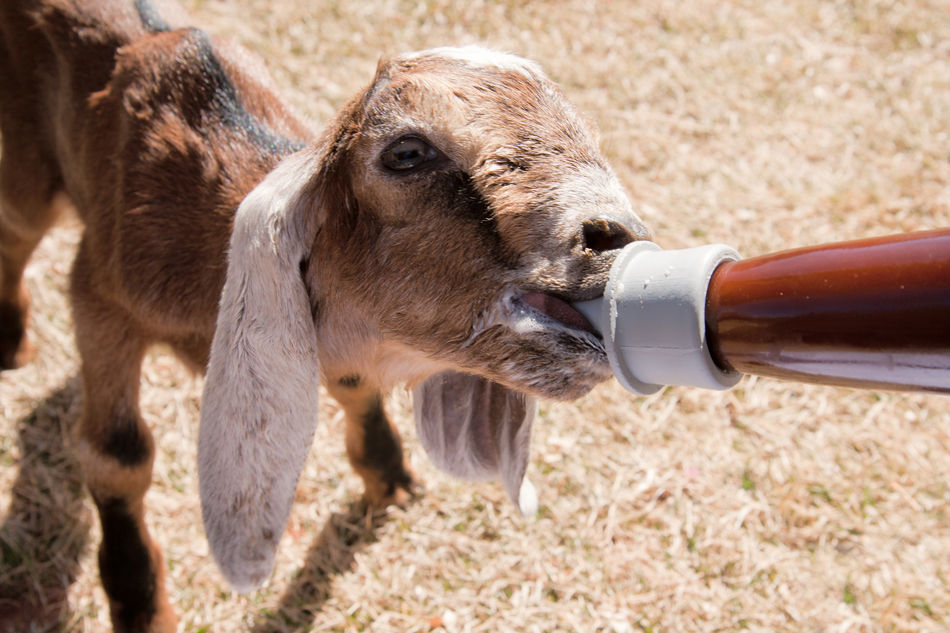 What a hungry baby Goat Kid Animal Baby Bottle Slurp Drink Animal Themes Mammal One Animal Baby Baby Animals Baby Goats Goats Goats On The Farm Goats Life Goatsarecool Goats And More Goats Farm Life Farm Animals