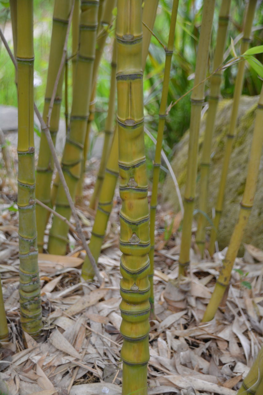 bamboo - plant, growth, bamboo grove, no people, nature, green color, day, plant, focus on foreground, bamboo, outdoors, close-up, field, beauty in nature, grass, animal themes