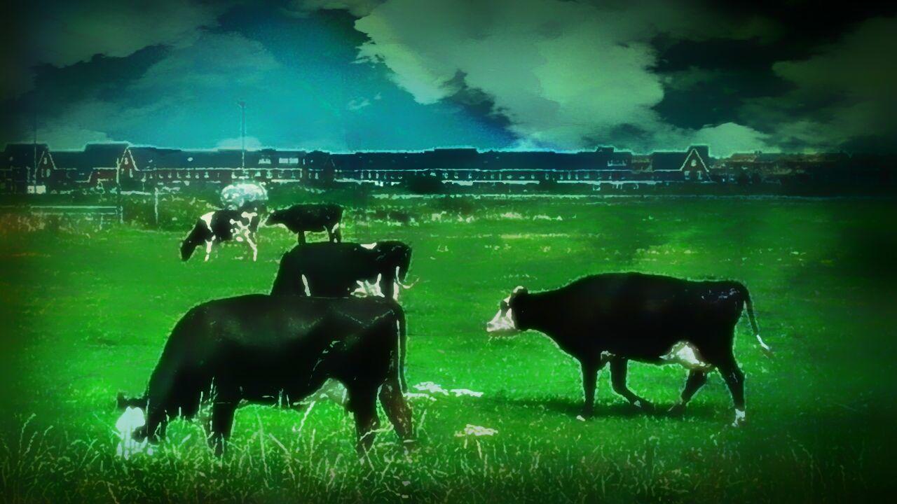 Summer2016 Heemskerk Nature OpenEdit Check This Out EyeEm Nature Lover Cow Cows Dutch Landscape Dutch Countyside Dutch Dutch Nature Clouds And Sky Clouds EyeEm Best Shots - Nature EyeEm Best Edits Places I've Been Today Enjoying Life Photography EyeEm Best Shots Holland Photooftheday Hello World Nederland Nederlands