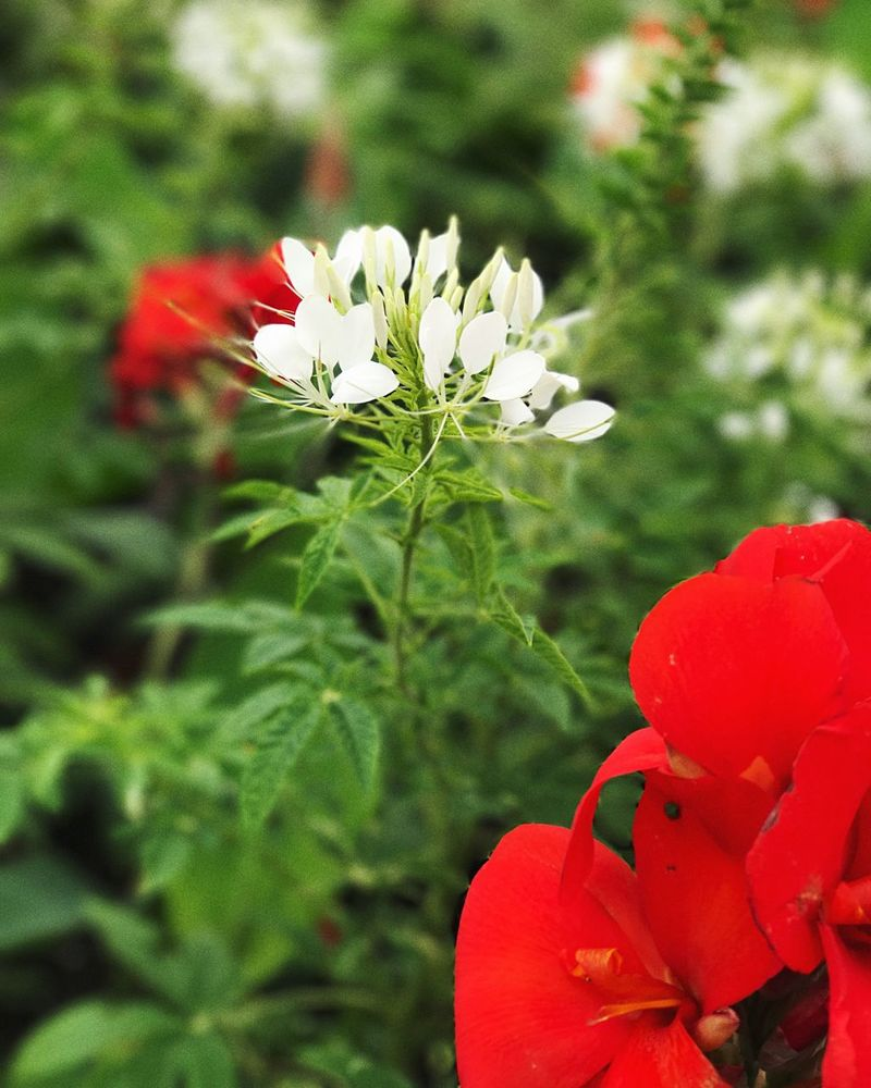Flower Petal Beauty In Nature Growth Fragility Nature Flower Head Freshness Red Plant Blooming Focus On Foreground Day Close-up No People Outdoors Springtime Leaf White Red Accent White Flower