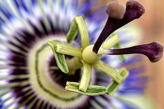 Same flower, different angle. Passionflower Colours Macro_brilliance Macro Nature_brilliance Excellent_nature Princely_shotz Bestukpics Explore_wildlife Fiftyshades_of_nature Ig_nature Ig_flowers Explore_britain Mybritain Britains_talent Ukpotd Nature_brilliance Bestshotz_macro Bestshotz_flowers Stalking_nature Flower_stalking Instagardeners_feature Nikon Nikond3300_photography CapturingBritain all_my_own
