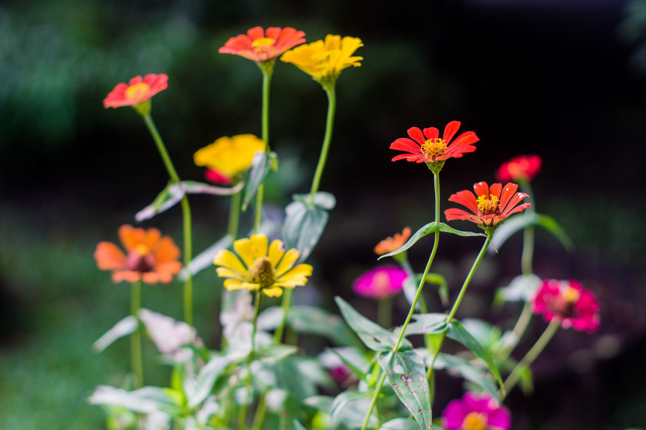 flower, growth, beauty in nature, fragility, plant, freshness, nature, petal, flower head, blooming, no people, outdoors, day, yellow, close-up, zinnia