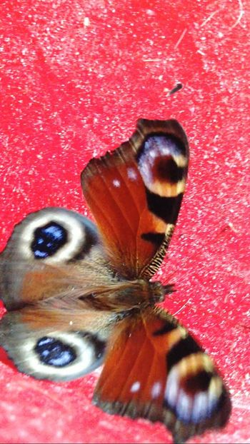 Close-up Insect Beauty In Nature Nature Butterfly - Insect Hometown Beautiful Nature EyeEm Best Shots - Nature Eye's Are Always Watching You Eye's Eye's Looking At You♡ Nature Beauty In Nature Blue Red EyeEm Nature Lover Orange Color