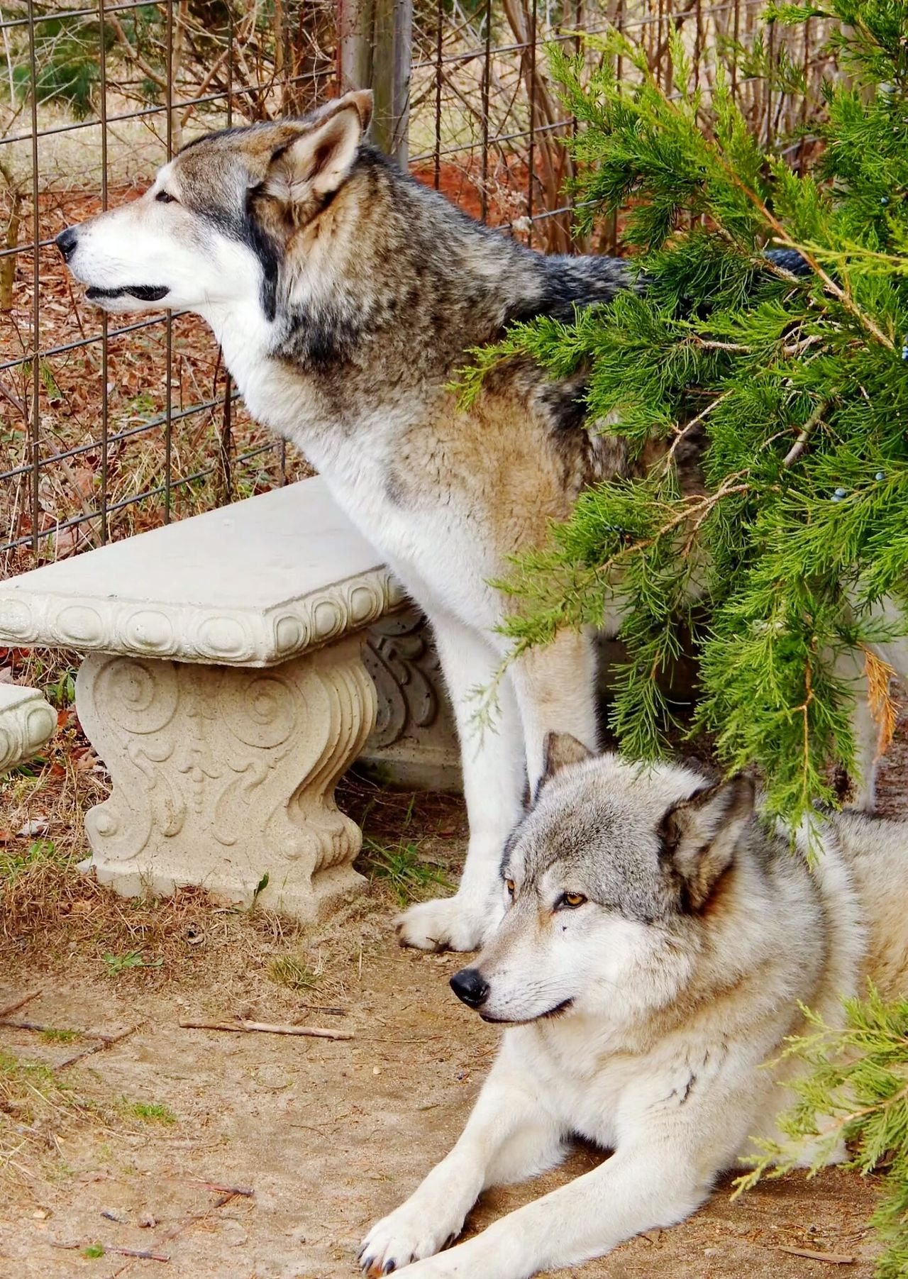 Beautiful stock photos of wolf, Animal Themes, Bench, Bush, Day