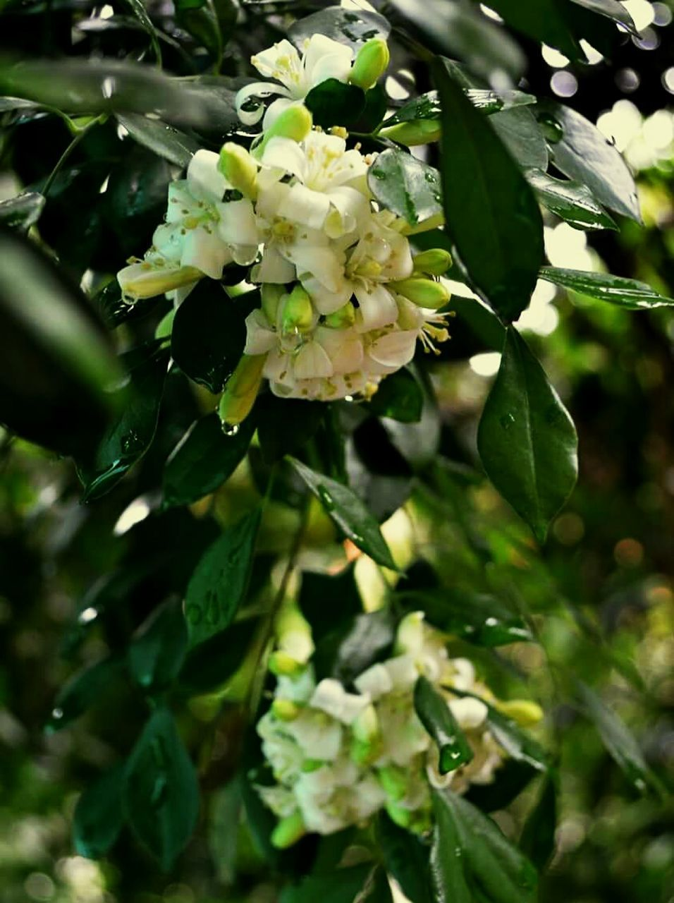 flower, fragility, growth, beauty in nature, freshness, nature, green color, white color, plant, blossom, no people, petal, day, leaf, outdoors, close-up, scented, flower head, branch, tree