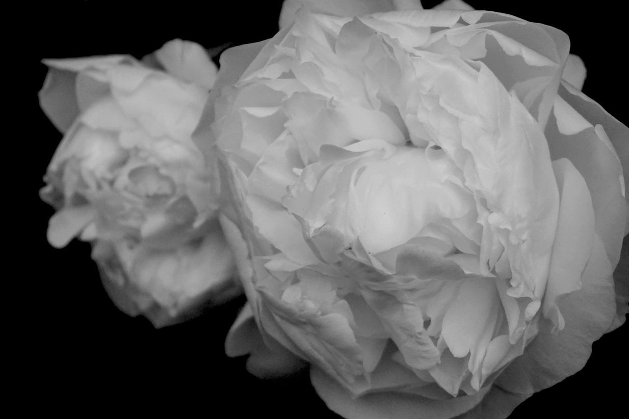 flower, petal, flower head, rose - flower, nature, black background, beauty in nature, fragility, growth, studio shot, plant, peony, no people, close-up, blooming, freshness