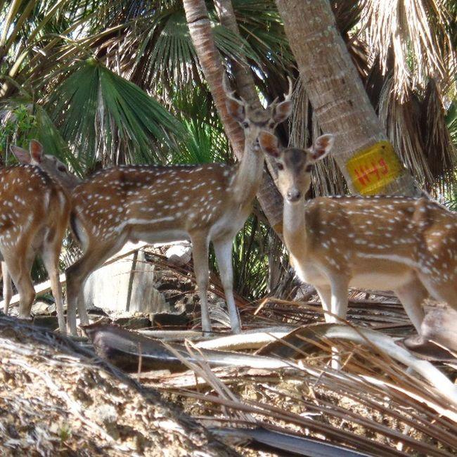 Deers , Nature , Naturelover , Naturephotographs , Curious , Animals , Cute , Andamanislands , India , Incredible_india .