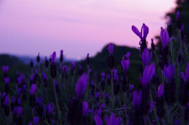 Lavender Natural Beauty #nofilter#noedit