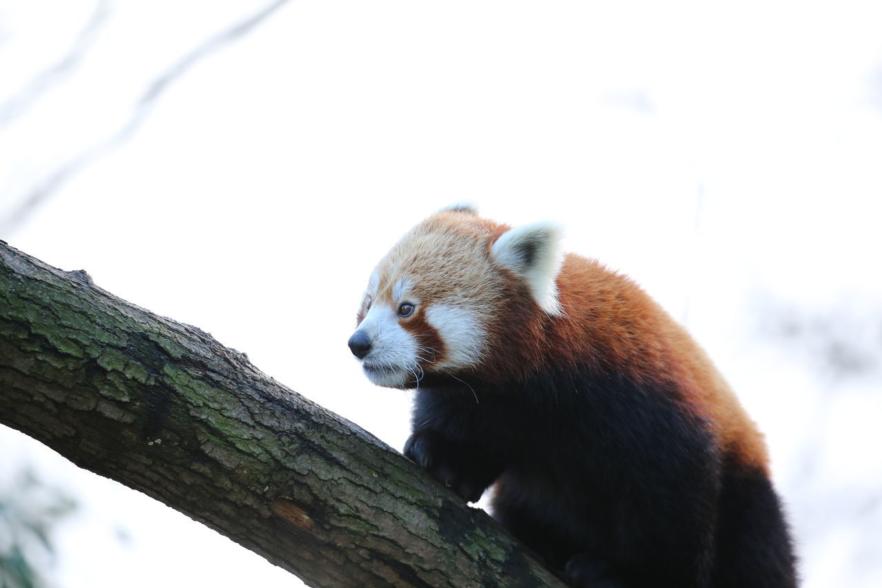 Animal Themes Animal Wildlife Animals In The Wild Branch Day Focus On Foreground Mammal No People One Animal Outdoors Red Panda Tree