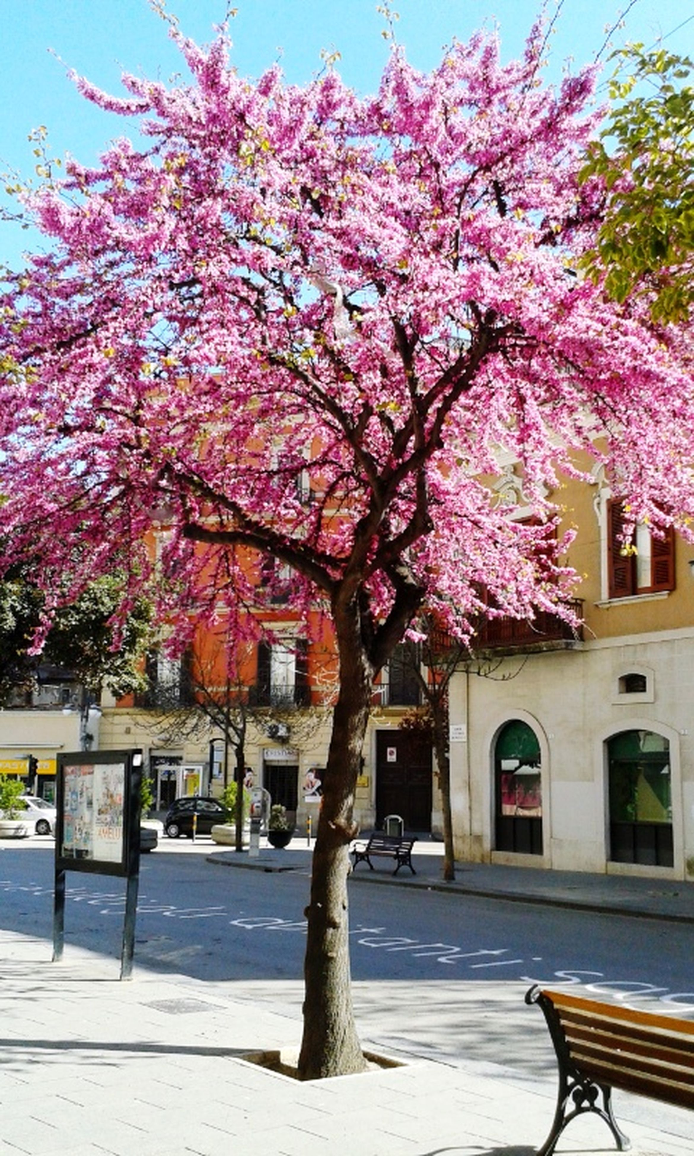 flower, tree, building exterior, built structure, architecture, branch, growth, freshness, blossom, pink color, nature, fragility, beauty in nature, cherry blossom, city, sky, sunlight, in bloom, cherry tree, day