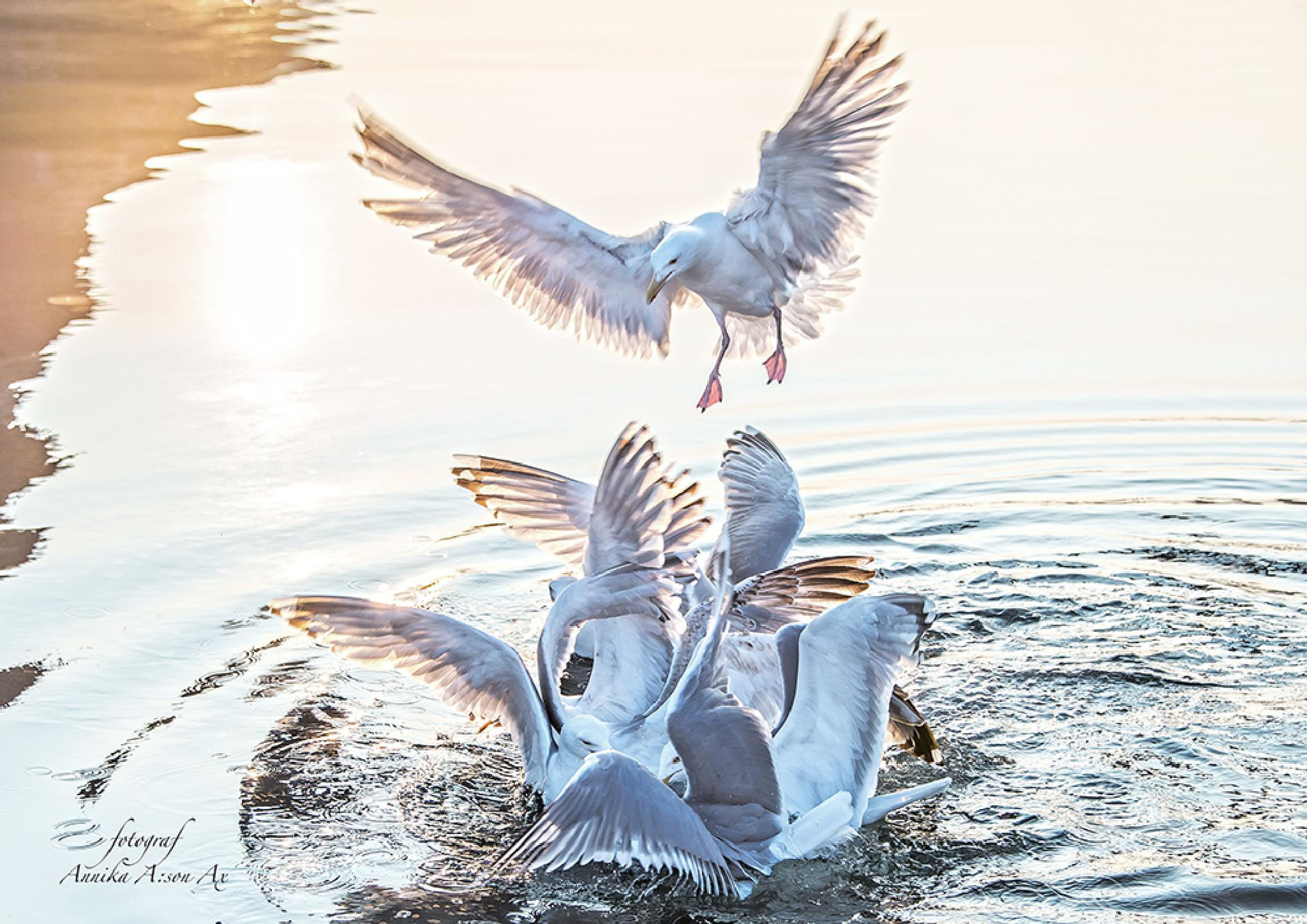 bird, animal themes, animals in the wild, wildlife, spread wings, flying, water, seagull, flock of birds, one animal, nature, lake, clear sky, day, full length, sky, two animals, mid-air, outdoors