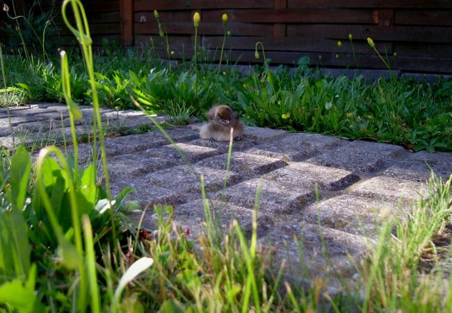 Bird Tiny Bird Little Bird Broken Wing Laying Down Laying On The Floor Laying On Grass Laying In The Grass Grass Garden Tiny Creature Little Creature Bird Photography Birds_collection Birdy Fell Out Of Nest Pathway Path Chilling Birdwatching Baby Bird Fauna