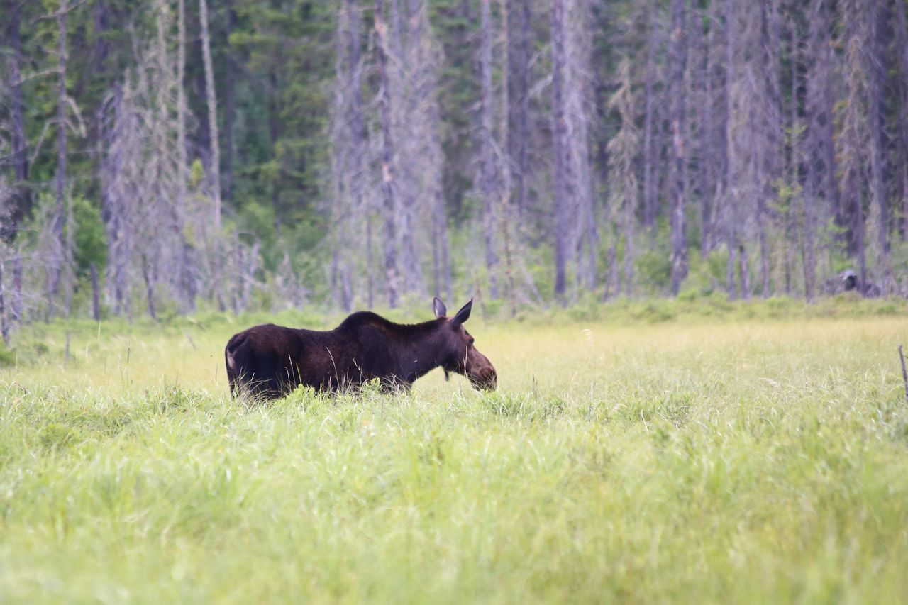 Minnesota Moose Wildlife Swamp Protecting Where We Play