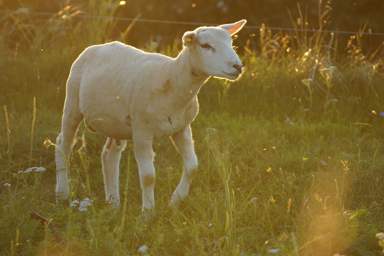 Sheep in Evening Sunlight Agriculture Animal Themes Backlit Day Denmark Domestic Animals Evening Light Field Grass Lamb Lamb Livestock Mammal Meadow Midges Natural Nature No People One Animal Outdoors Pasture Pets Sheep Sunlight Young Animal