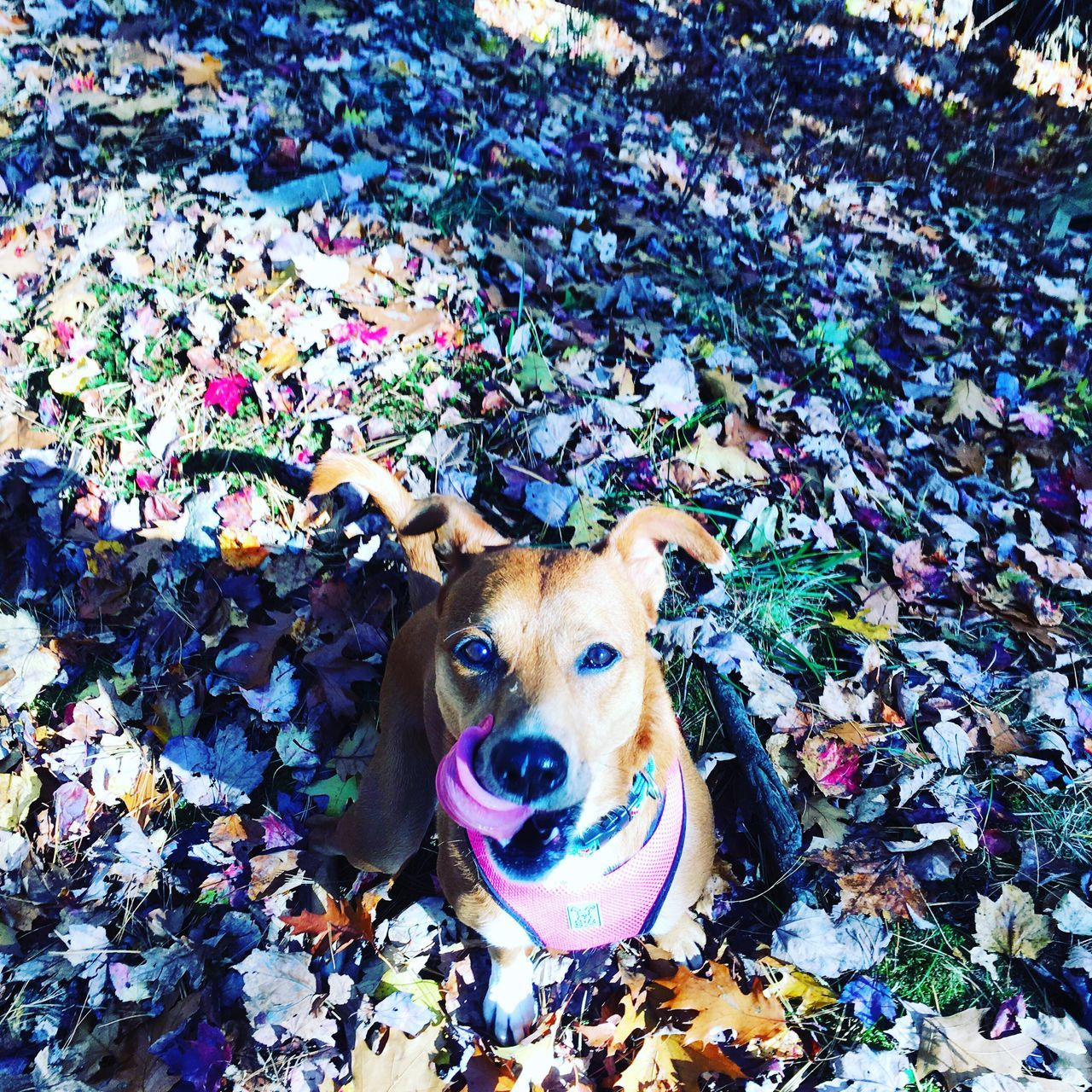 dog, pets, one animal, looking at camera, animal themes, domestic animals, portrait, leaf, mammal, high angle view, day, lying down, pit bull terrier, outdoors, no people, nature, close-up, beagle