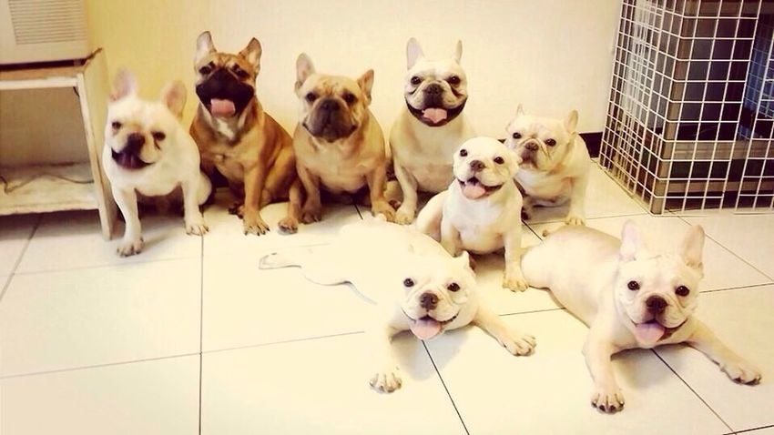Thunder is with a group of friends!!? My French Bulldog <3 Frenchbulldog I Love My Dog