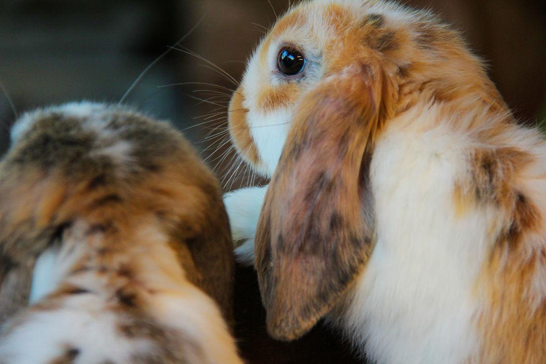 Ram Rabbit Portrait