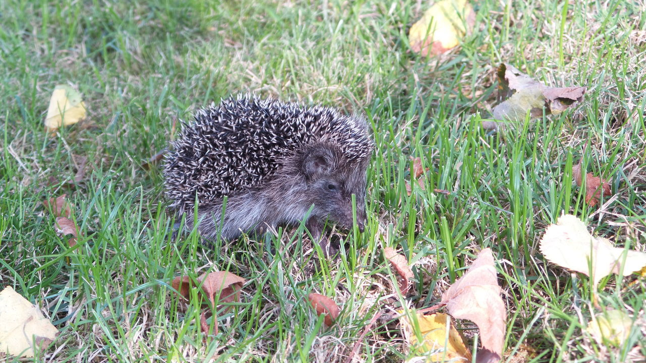 grass, animals in the wild, animal themes, animal wildlife, field, nature, high angle view, hedgehog, no people, growth, day, mammal, outdoors, beauty in nature, close-up