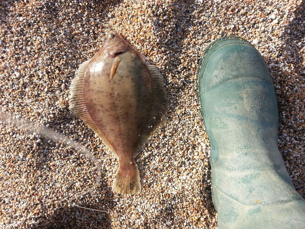 12oz dab Beach Dab Flatfish Loe Bar Sea Angling