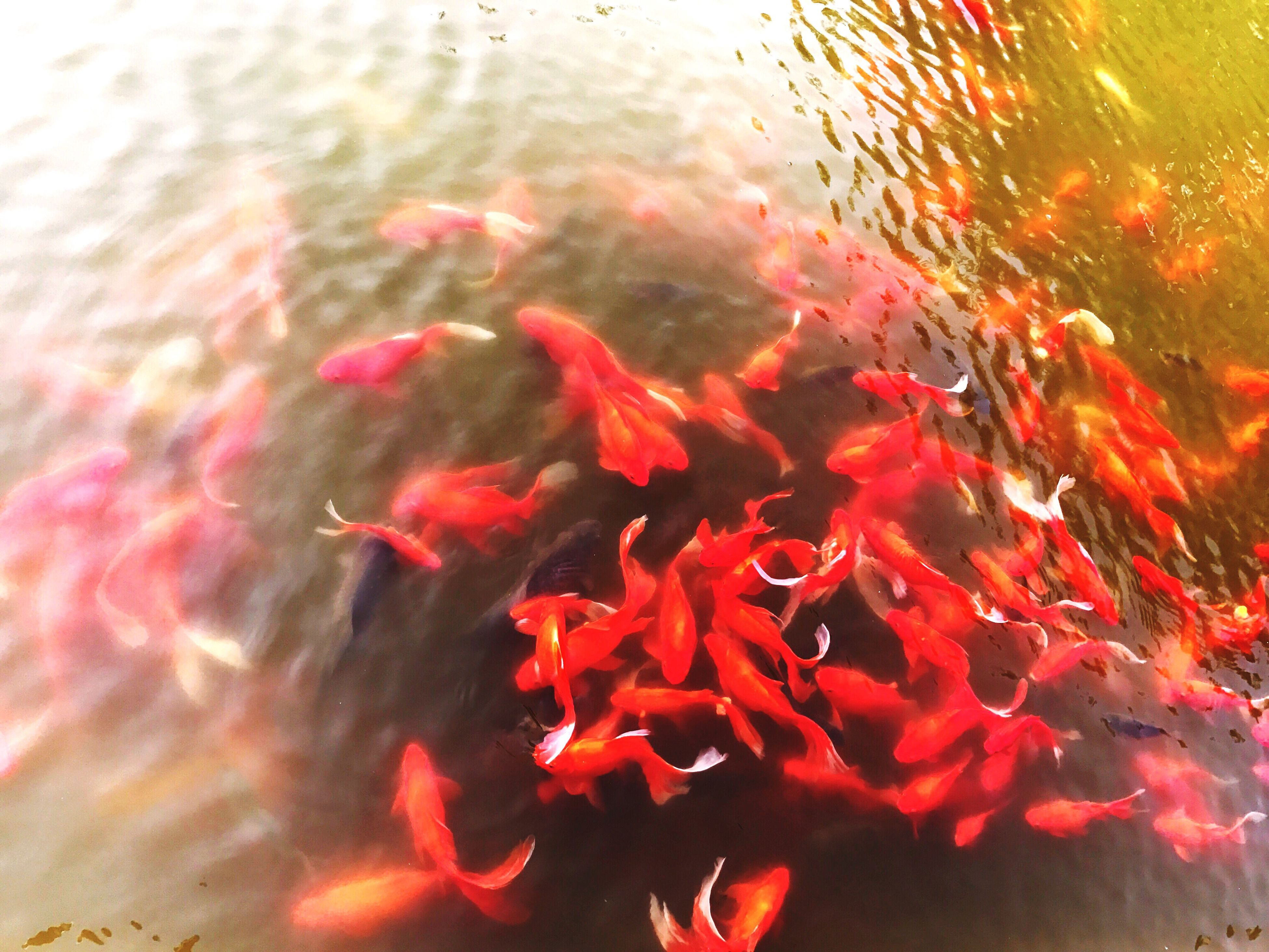 water, animal themes, swimming, koi carp, fish, sea life, close-up, animals in the wild, nature, carp, large group of animals, outdoors, no people, day, beauty in nature