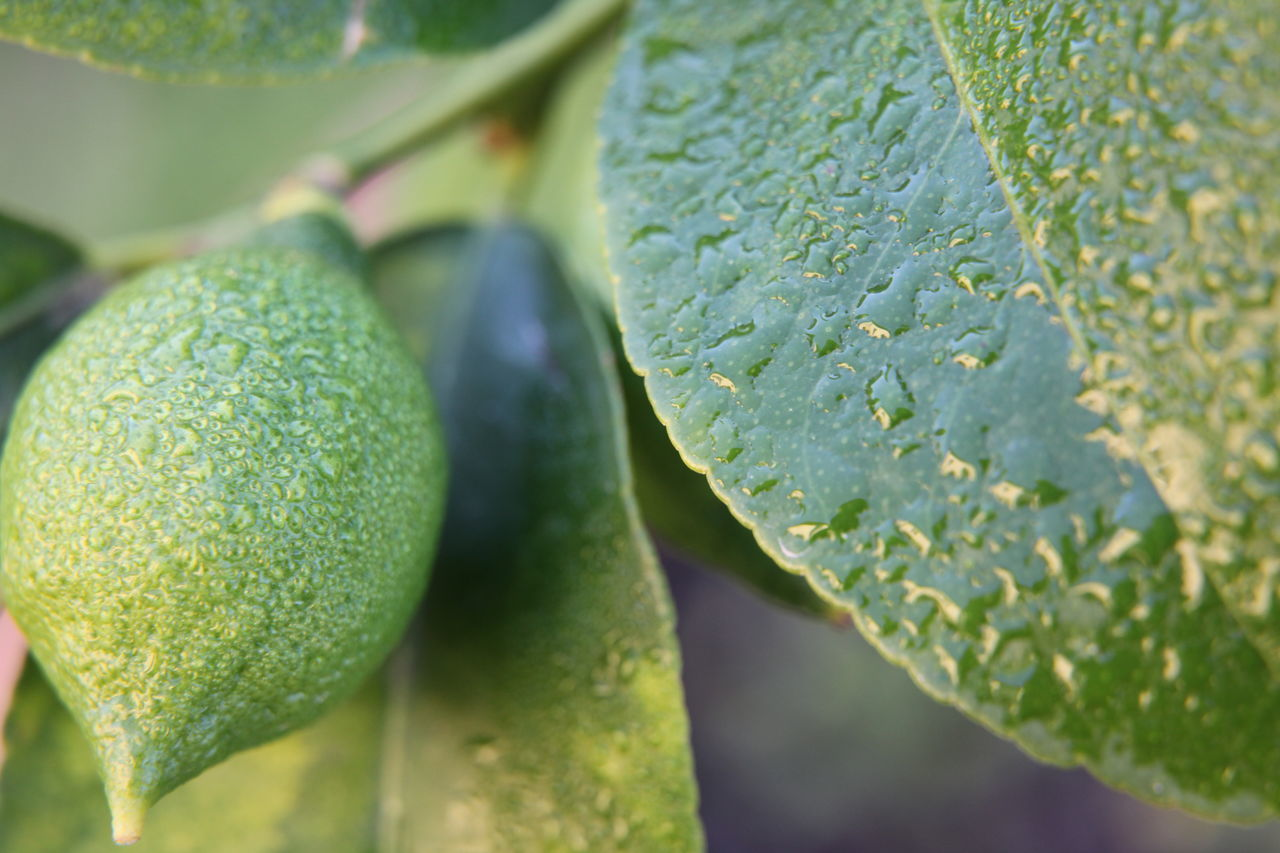 green color, leaf, food and drink, fruit, close-up, freshness, healthy eating, food, no people, growth, day, plant, outdoors, nature, water