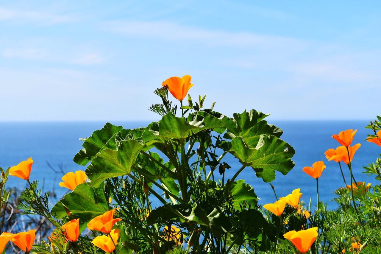 Nature Photography Wildflowers California Poppies Oceanside Big Sur, Ca. State Flower