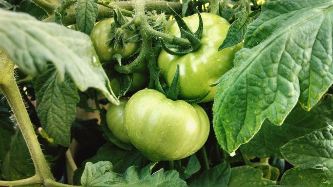 Colour Of Life Green Tomatoes Tomatoes Garden Abundance Gardening Container Gardening Organic Healthy Food Nature Nature Photography Food