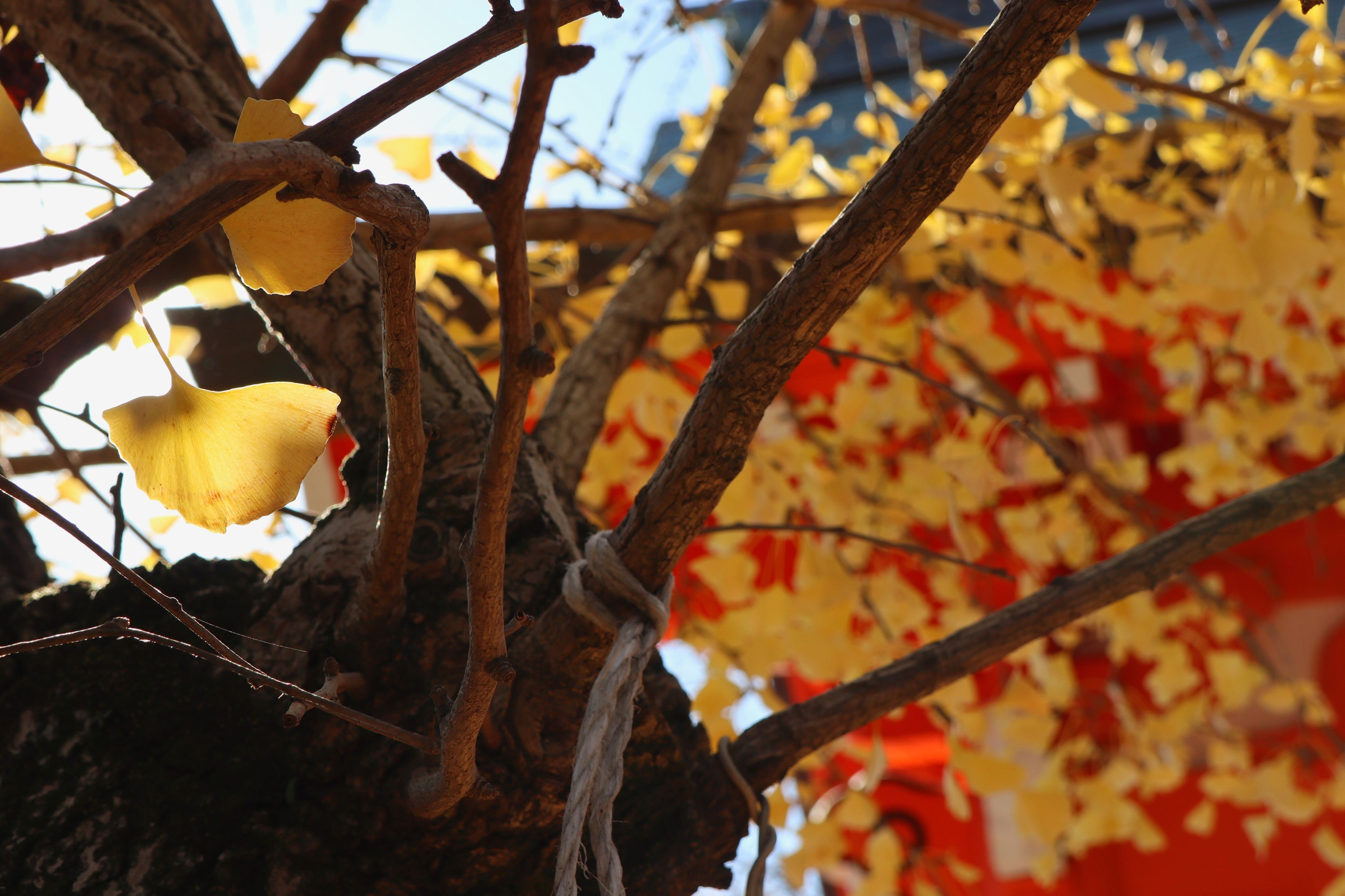 low angle view, tree, leaf, sunlight, hanging, autumn, change, no people, branch, yellow, day, nature, close-up, outdoors, food, freshness, sky