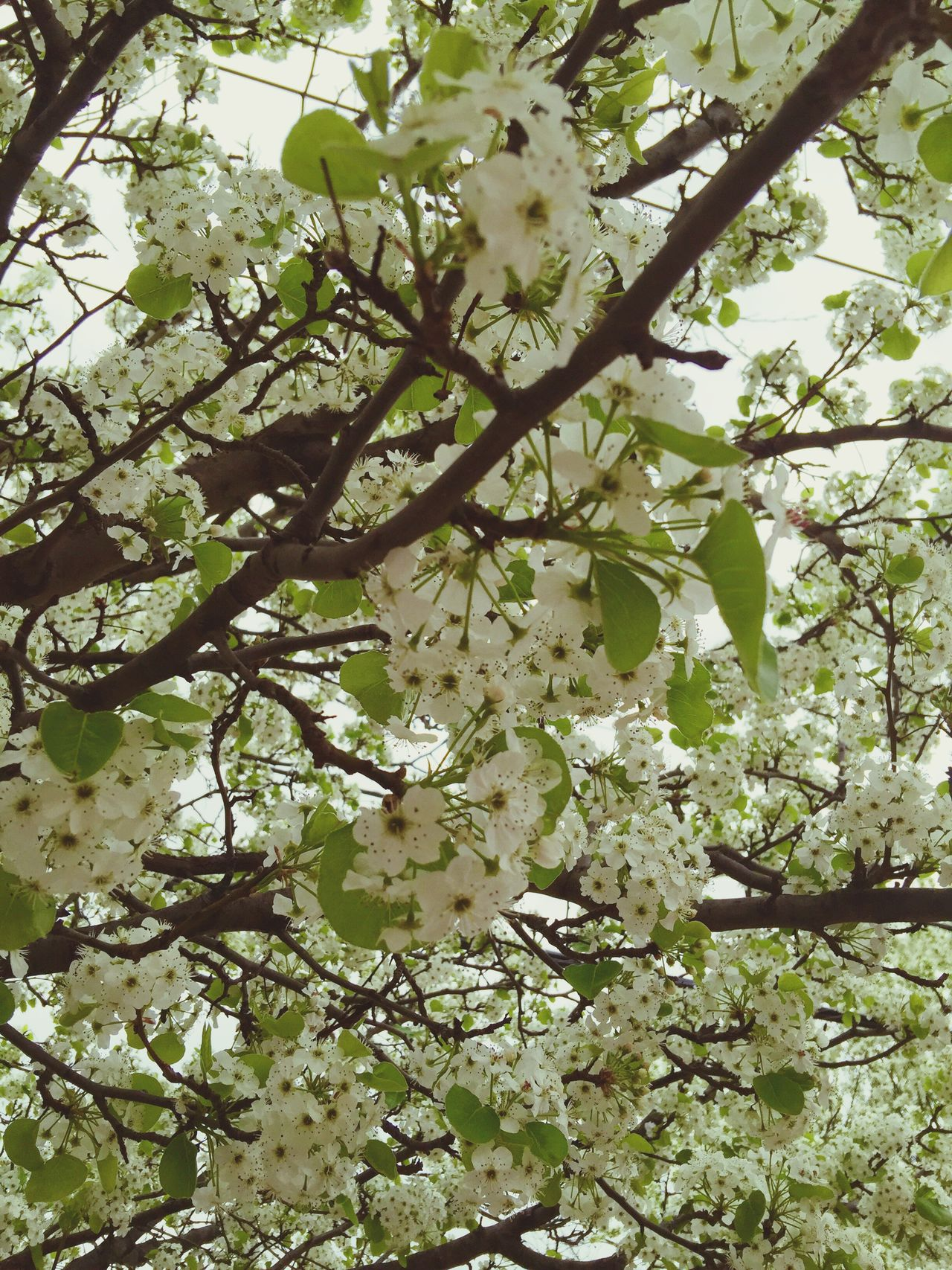 Springtime Spring Spring Flowers Spring Has Arrived Nature_collection Nature Photography White Flower Flowering Tree White Sky Oswego, IL