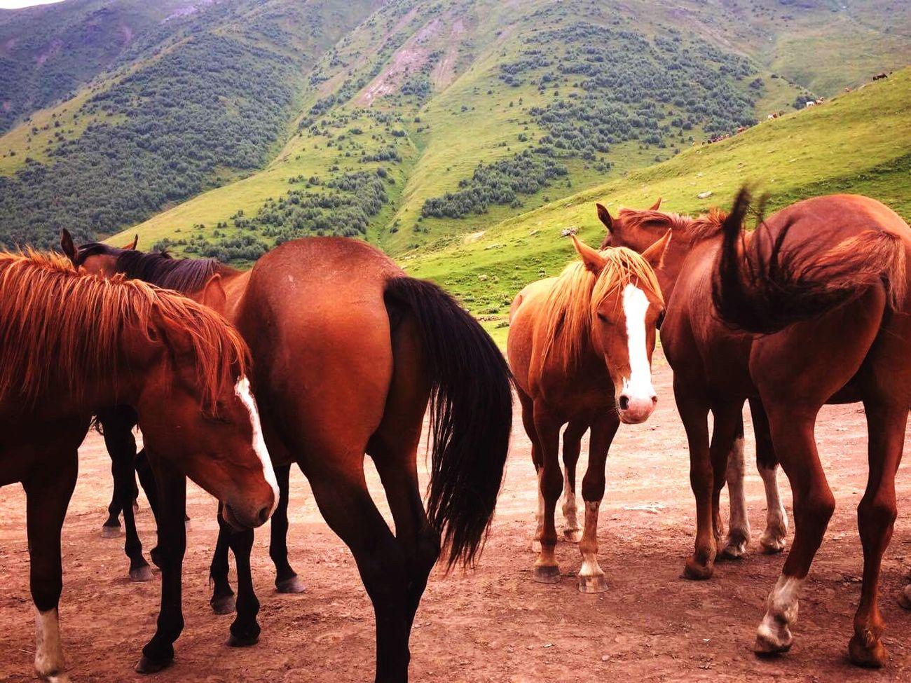 Horses Yazbegi Mountain