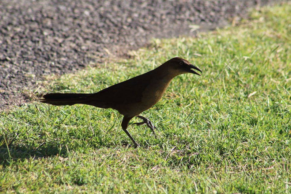 Female great-tailed grackle. Beauty In Nature Bird Black Color Close-up Day EyeEm Nature Lover Field Focus On Foreground Grass Grassy Great-tailed Grackle Green Color Growth Landscape Nature No People Outdoors Selective Focus Tranquility