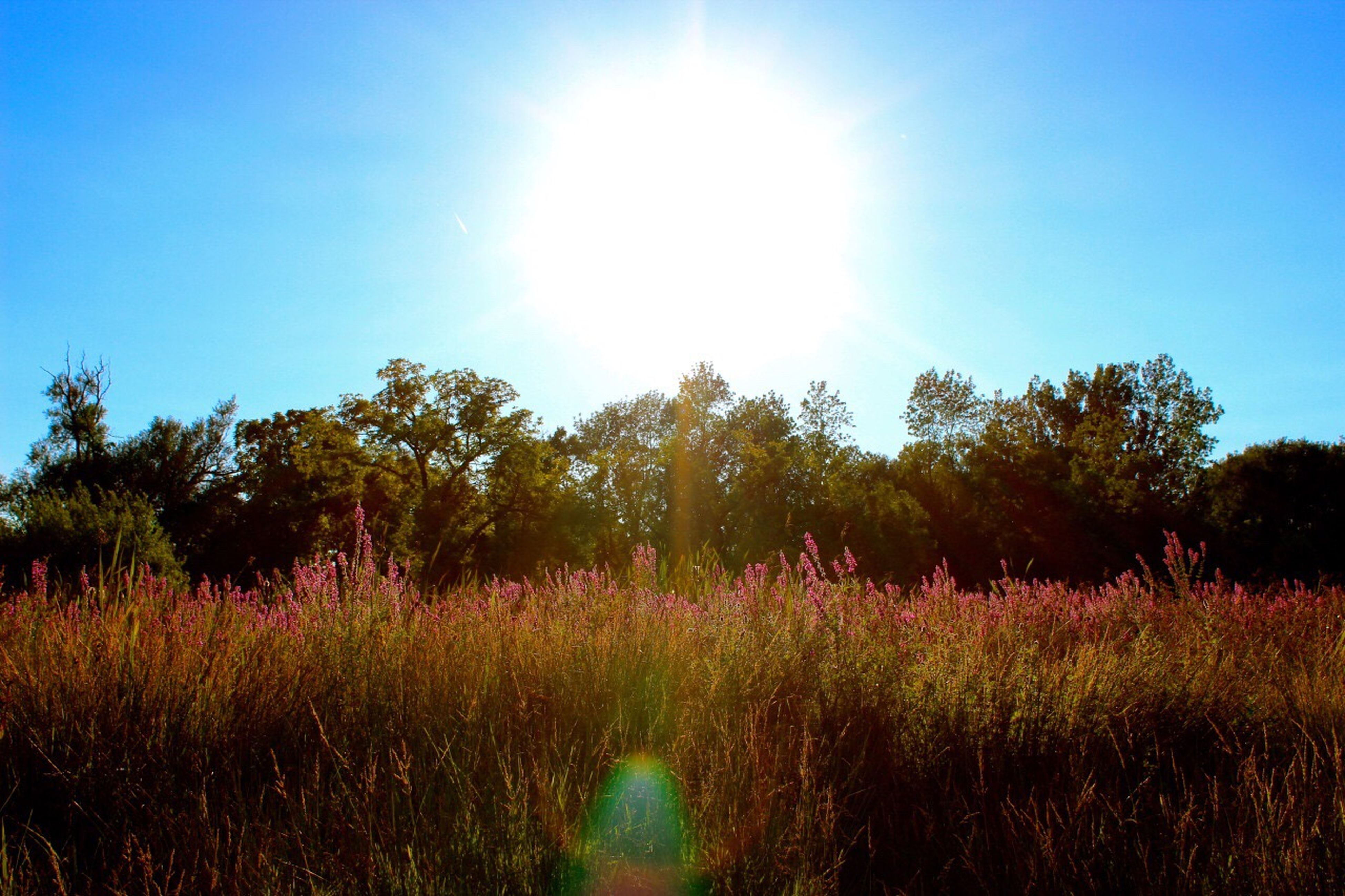 growth, nature, beauty in nature, tree, flower, sunlight, sky, tranquil scene, tranquility, scenics, plant, sun, no people, sunbeam, field, outdoors, clear sky, landscape, freshness, day