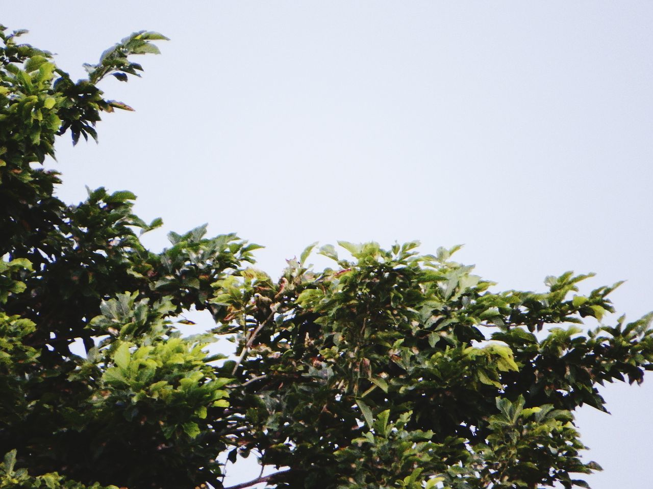 tree, clear sky, growth, low angle view, nature, no people, leaf, day, beauty in nature, branch, plant, outdoors, sky, freshness