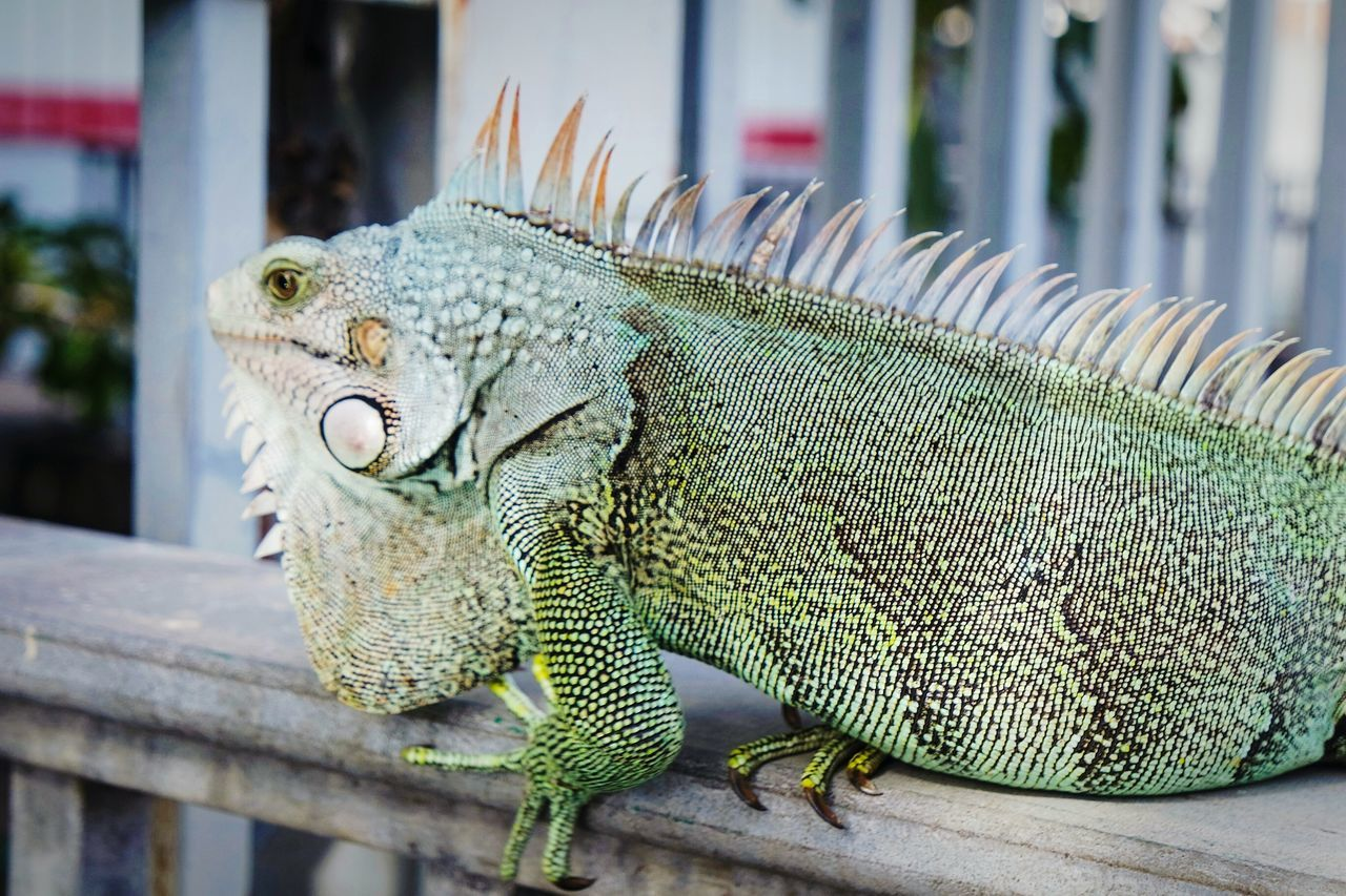 In Fort de France Close-up Iguana Reptile Focus On Foreground No People Animal Wildlife Day Outdoors Animal Themes Animals In The Wild Nature Eye4photography  EyeEm Best Shots Fresh 3 Nature_collection Reptile One Animal The Great Outdoors - 2017 EyeEm Awards