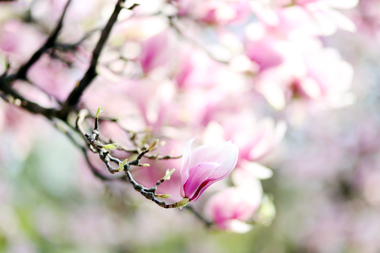 Beauty In Nature Cherry Blossom Day Flower Fragility Freshness Growth Magnolia Nature Pink Color Springtime Tree