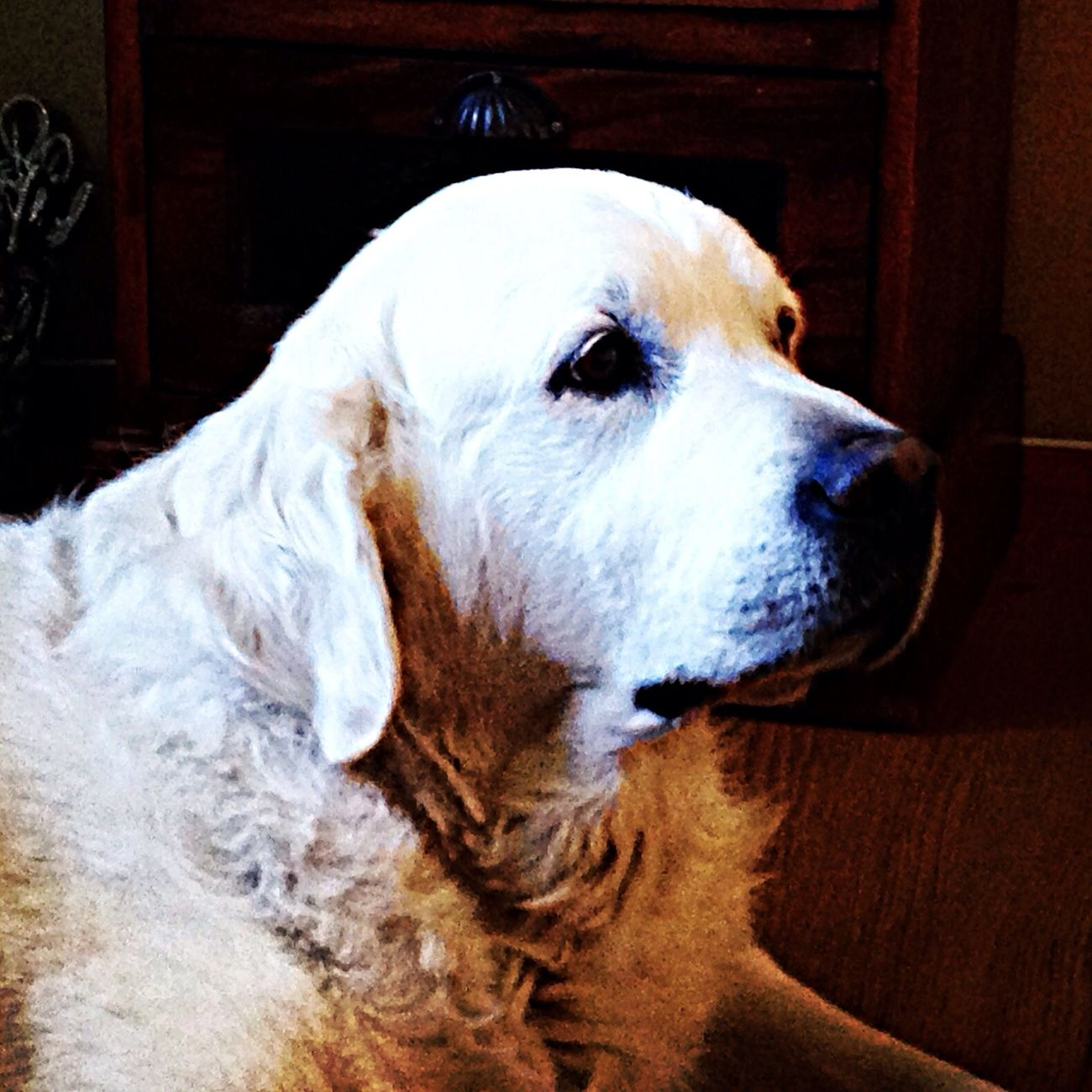 Dogs Golden Retriever