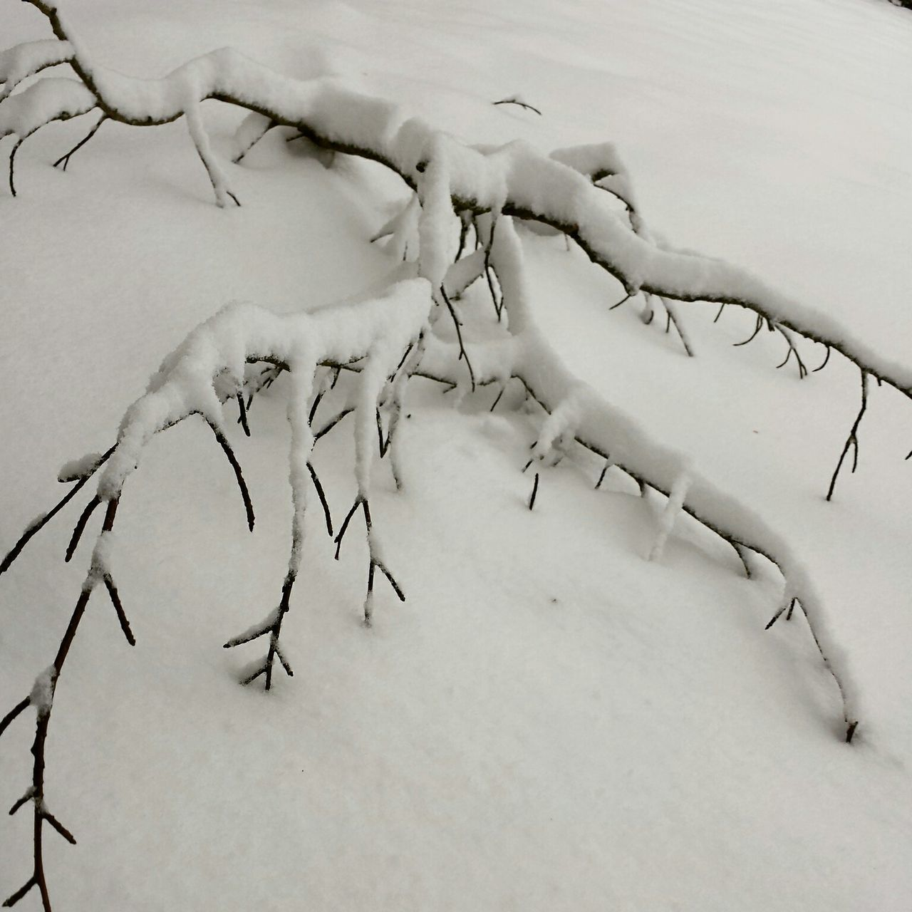 A branch figthing it's way through the snow ... Winter Snow Winter Garden