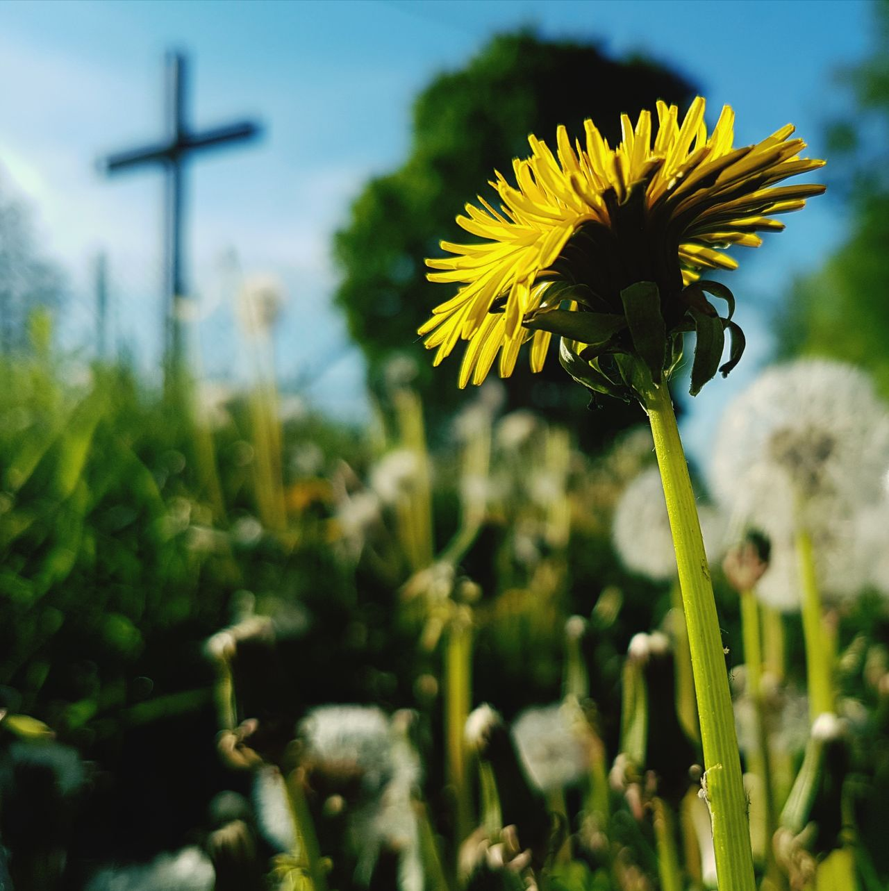 Sow thistle (sonchus) Flower Plant Nature Flower Head Yellow No People Close-up Outdoors Day Beauty In Nature Sky Freshness Fragility Rural Scene Rural Cross Christianity Christian
