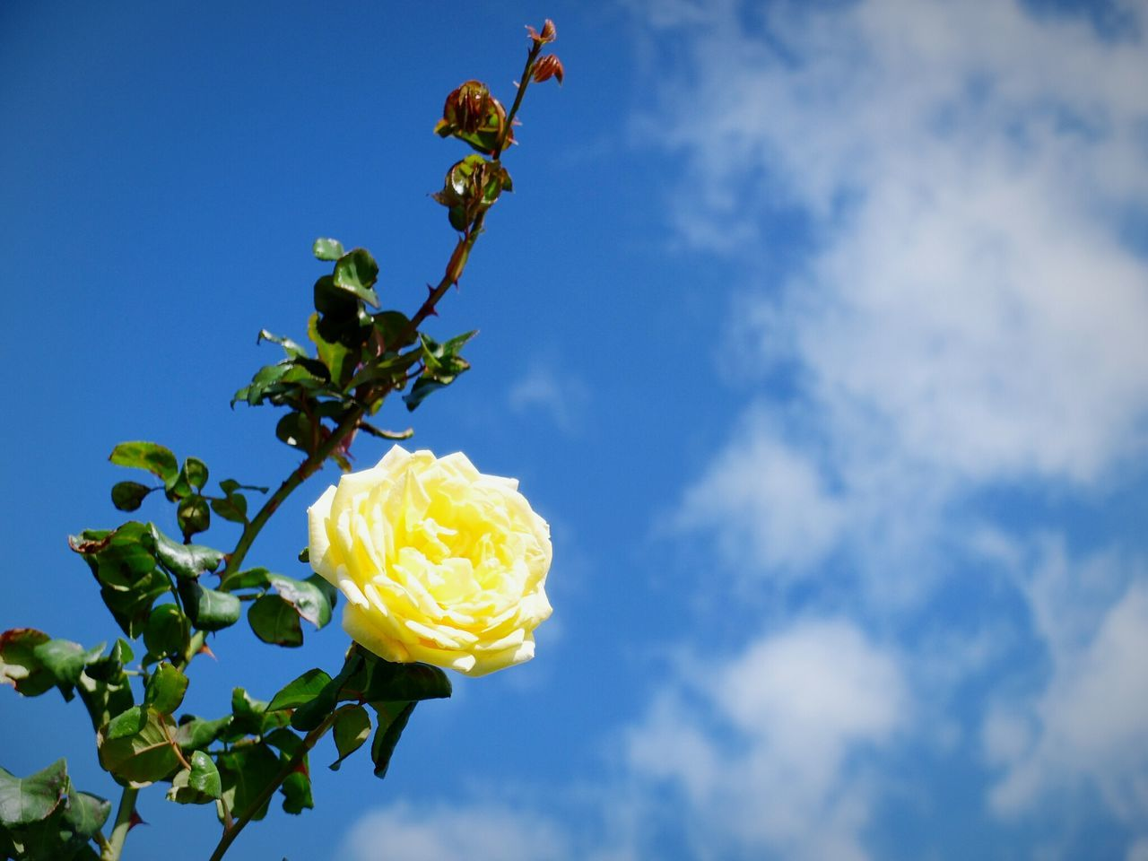 Beautiful stock photos of rosen, Flower, beauty In Nature, blooming, blossom