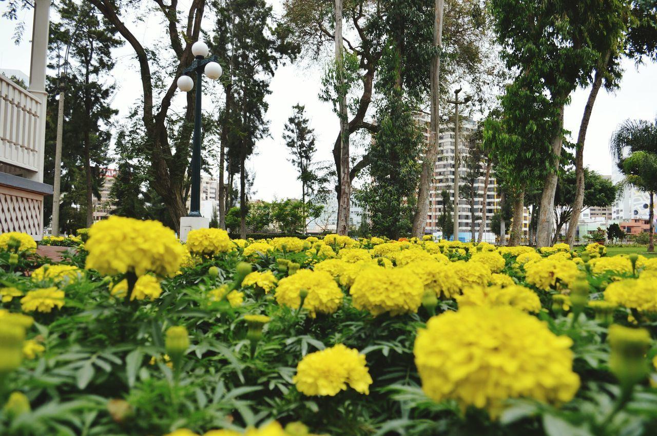Yellow Marigold Blooming At Park