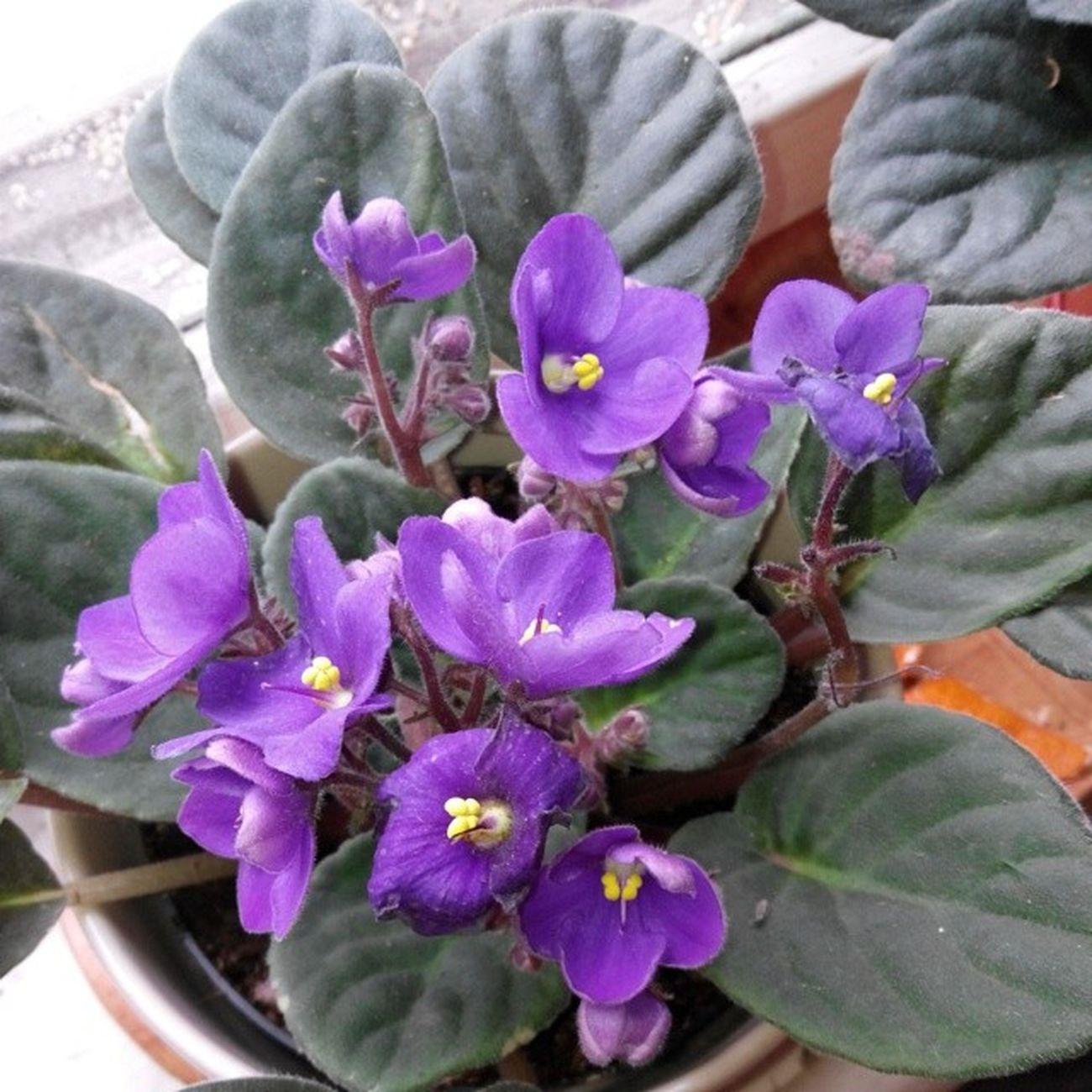 Flowersagram Instagramflowers Flowers Flower Violet Viola Flowersofinstagram 2014 Instaflower Instaflowers цветок  цветы Houseplant Saintpaulia фиалка фиалки