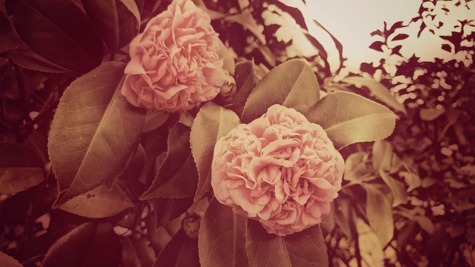 Camellia Winter Blooms Flowers,Plants & Garden Eyem Nature Lovers  South Carolina Southern Landscapes