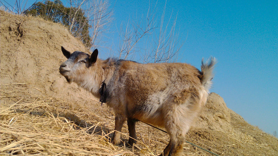 calm goat Animal Themes Blue Calm Goat Clear Sky FUNNY ANIMALS Goat Goat Life One Animal