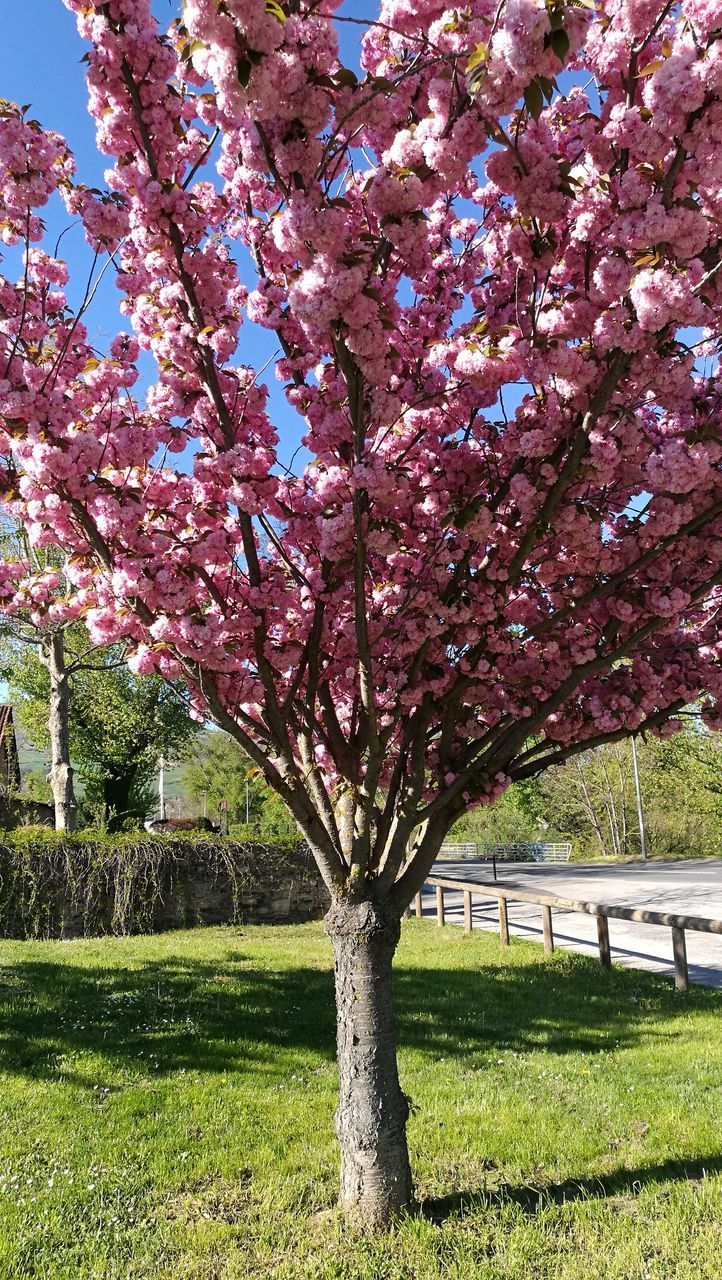 tree, growth, blossom, beauty in nature, flower, nature, grass, springtime, park - man made space, day, branch, no people, fragility, freshness, outdoors, tranquility, scenics, blooming, sky