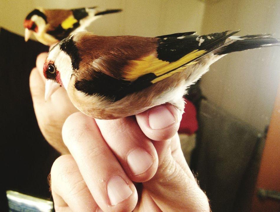 Goldfinch Colourfull Bird EyeEm Singing Taking Photos Life Blackberry10 Mirror Albania