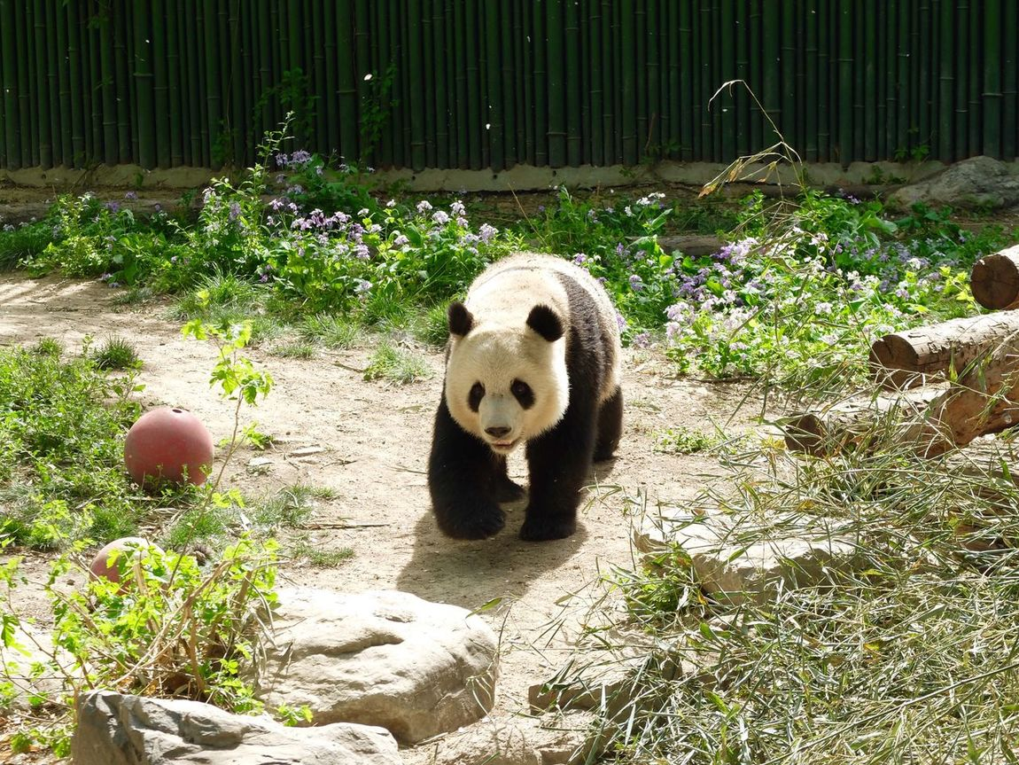Animal Themes Bear Panda - Animal One Animal Mammal Day Outdoors Animals In The Wild No People Giant Panda Panda Nature EyeEm Diversity