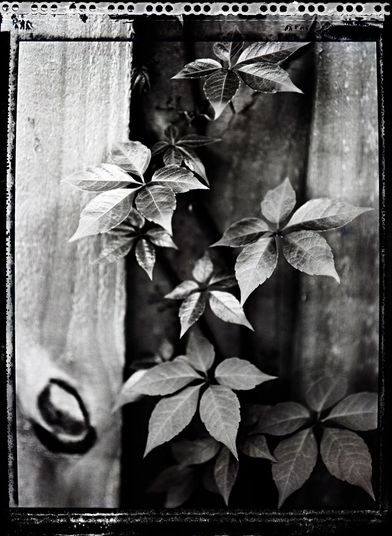 I Once knew a girl... ~ Polaroid Type 55 Polaroid Peel Apart Film Film Photography Large Format 4x5  Toyo Field Camera Nature's Diversities Nature Takes It Back Reclaimed By Nature Ivy Poetry In Pictures Kaleb M. Starr Monochrome Photography Maximum Closeness