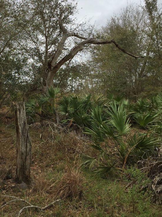 Three Lakes Wildlife Management Area Florida Nature Florida Trail Three Lakes WMA Dead Tree Deadtree